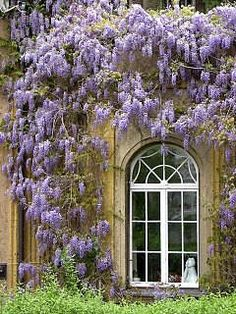 wisteria  o how I would love this! So pretty!