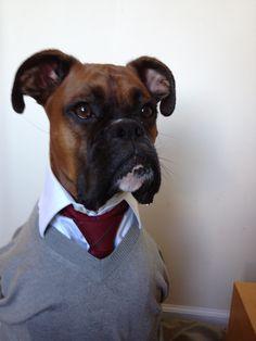 Mens wear dog boxer, studious edition