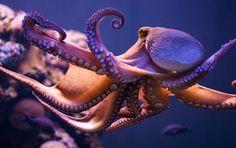 I cefalopodi, come si evince dall'etimologia greca (piedi sulla testa) sono una classe di molluschi esclusivamente marini, come le seppie, i calamari, ecc.