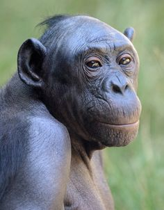 The bonobo is one of the most rare and intelligent animals in the world. The social structure of this magnificent ape is unique and complex: in the largely peaceful bonobo society, the females rule the roost. Photo by Mike Wilson