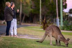 The beachside town where humans and wild kangaroos coexist Australian Animals, Australia Travel, Coastal, Kangaroos, Australia Destinations, Kangaroo