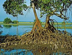 mangrove forest A thicket of tangled mangrove roots and stems spreading over a tidal estuary.