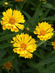 "Tickseed 'Jethro Tull' Coreopsis -Compact and long blooming make this a brilliant performer. Plant in full sun for blooms all summer. Height 15-18"". Zones 4-9"