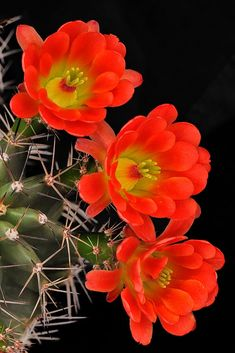 Claret Cup – Amazing Pictures - Amazing Travel Pictures with Maps for All Around the World