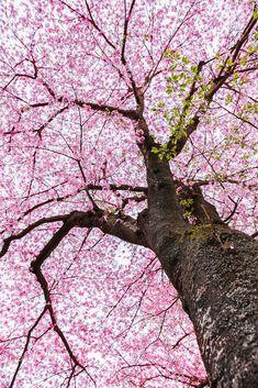 Sakura tree , Japanese cherry blossom symbol of spring Tree Wallpaper, Flower Wallpaper, Garden Trees, Trees To Plant, Cartoon Trees, Japanese Tree, Tree Sketches, Winter Art Projects, Tree Illustration