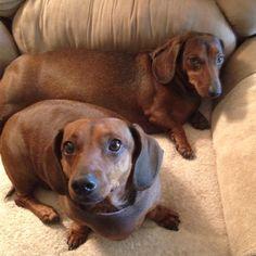 My wiener dogs
