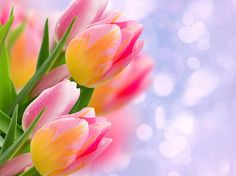 Тюльпаны Почки Листья крупным планом