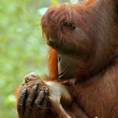 An Orangutan Mommas eyes locked on her precious newborn. via Wild for Wildlife and Nature on FB