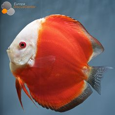 Red Melon Discus