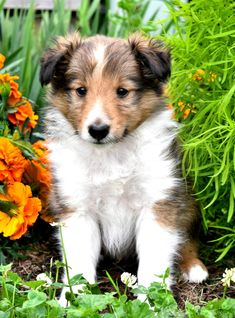 💜Blessing your #SundayMorning feed with the most #Adorable little puppy! Doughnut🍩 is as sweet as his name sounds, this cute #ShetlandSheepdog puppy is sure to make all your puppy dreams come true!🐾 #Charming #PinterestPuppies #PuppiesOfPinterest #Puppy #Puppies #Pups #Pup #Funloving #Sweet #PuppyLove #Cute #Cuddly #Adorable #ForTheLoveOfADog #MansBestFriend #Animals #Dog #Pet #Pets #ChildrenFriendly #PuppyandChildren #ChildandPuppy #LancasterPuppies www.LancasterPuppies.com Little Puppies, Puppies For Sale, Dogs And Puppies, Mini Shetland, Sheep Dog Puppy, Shetland Sheepdog Puppies, Lancaster Puppies, Animals Dog, Rottweiler