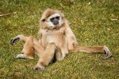 White Handed Gibbon by andyoafmcgarry, via Flickr
