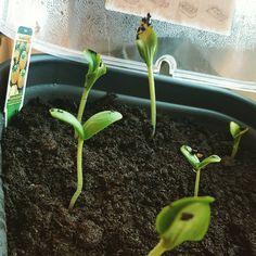 In meinem Mini-Gewächshaus lassen es sich #Zucchini und #Gurke gut gehen  grow grow grow  #myelho #elho #veggie #setzlinge #urbangardening #hochbeet #gartenlust #gartensaison2017 #growgrowgrow #DIY #likemeinscheiß #gemüse #instagarden #fresh