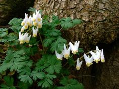 Dicentra cucullaria (Dutchman's breeches) is an herbaceous perennial of the Fumariaceae family. Spring Wildflowers, Spring Flowers, White Flowers, Wholesale Nursery, Forest Plants, Border Plants, Unusual Flowers, Clay Soil, Herbaceous Perennials