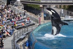 2016-3-17 - And some good news!  SeaWorld to End Captive Breeding of Killer Whales, Orca Shows   TakePart