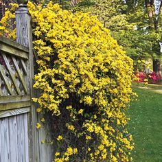 Spring Hill Nurseries 2 in. Pot Carolina Jessamine Gelesemium Vine Live Potted Plant with Yellow Flowers Yellow Flowering Shrub, Flowering Shrubs, Winter Plants, Summer Plants, Carolina Jasmine, Spring Hill Nursery, Jasmine Vine, Yellow Nursery, How To Attract Hummingbirds