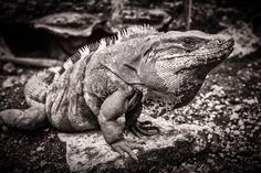 An iguana basks in the sun at the Mayan ruins at San Gervasio Cozumel Mexico.  See more #photos at 75central.com