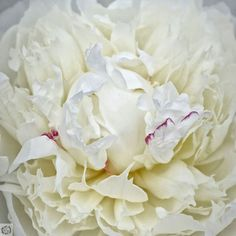 I think of weddings when I see white peonies. Like they serve no other purpose than to make brides happy. Just gorgeous.  #fenimorerutland #peonies #weddingbouquet #floralfix
