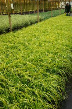 Carex oshimensis 'EverColor Everillo' - wet shade