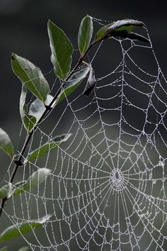 Orb web crowned with leaves Spider Art, Spider Webs, Spider Silk, Itsy Bitsy Spider, Amazing Spider, Beautiful World, Charlotte's Web, Patterns In Nature, Enchanted