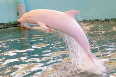 A rare albino dolphin living in a museum in Japan is the only captive member of its species with the genetic condition
