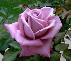 Rose Plum Crazy.