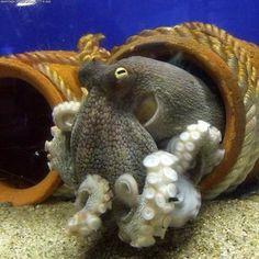 octopuses photos