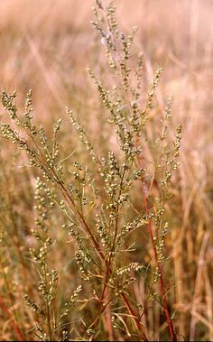 Artemisia campestris Field wormwood British Wild Flowers, Grasses, Nature, Plants, Lawn, Naturaleza, Grass, Plant, Nature Illustration
