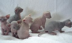 Sphynx Cat Kitten High resolution wallpapers is about the image of cute animals, pet breeder, Sphynx Cat Kitten High resolution wallpapers treatment, most popular pet, with more picture in HD resolution