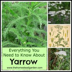 Everything You Need to Know About Yarrow ~ We have wild yarrow growing in the wildflower area of our property.