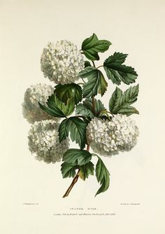 Viburnum opulus, guelder rose, botanical print. Hardy shrub.