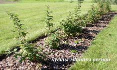 как правильно посадить малину весной,малина посадка +и уход +в открытом грунте, малина ремонтантная посадка +и уход +в открытом,посадка малины весной +в грунт, посадка малины весной +в открытый, посадка малины весной +в открытый грунт, посадка ремонтантной малины весной, посадка кустов малины,как правильно посадить малину весной, малина весной уход обрезка, малина черенками весной, +чем удобрять малину весной, обрезка ремонтантной малины весной, +когда пересаживать малину весной, +как сажать…