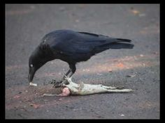 The only animal that worked out how to eat cane toads without dying is the crow. It turns the toad on its poisoned back to eat the innards.