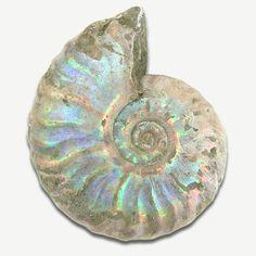 pretty ammonite fossil w nacre