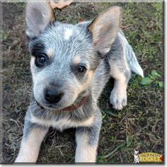 Rocket the Australian Cattle Dog, the Dog of the Day