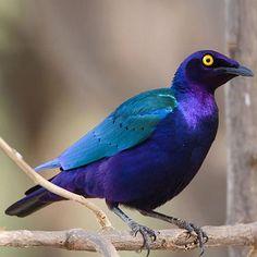 Purple glossy starling  | PURPLE GLOSSY STARLING - LAMPROTORNIS PURPUREUS TropicImpex Toptan ...