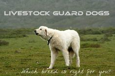 Good, brief intro discussion on four breeds:  Anatolian Sheperd, Akbash, Great Pyrenees, and Komondor.  Video as well..
