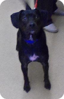 UPDATE- ADOPTED! Zanesville, OH - Dachshund Mix. Meet 34357 Darth Vader, a dog for adoption. http://www.adoptapet.com/pet/11409861-zanesville-ohio-dachshund-mix