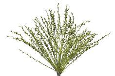 Conheçam mais as particularidades da linda semente de fênix através das palavras do expert em flores e plantas Sergio Oyama Junior, nosso colunista semanal!