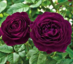 """Twilight Zone Rose gives you bright violet blooms and remarkable clove Fragrance!  Naturally Resistant to Disease. The Twilight Zone Rose will grow to approximately 4' to 6' in height, and about 3' or 4' in spread, flowers 4""""-5"""". It tends to flower through the late spring and fall.  These flowers thrive quite nicely when exposed to full or partial sun.   We recommend planting in groups of three, or in rows. Imagine a hedge of vibrant, purple blooms during the summer!"""