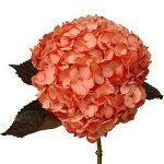 Salmon Peach Tinted Hydrangea Flowers! could be tinted Tiffany blue!