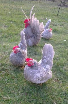 Lavender White Mottled Japanese Bantams #chickens #hens #bantams #brids #fowl