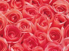 imagens de rosas lindas - Pesquisa Google