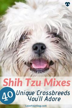 As with most popular breeds, there has been a lot of experimentation with cross-breeding the Shih Tzu in order to create fun and exciting canine concoctions. Come take a look into 40 of the best and adorable Shih Tzu mixes around! Shih Tzu Poodle, Shih Tzu Mix, Yorkie, Small Mixed Breed Dogs, Small Dogs, Pekinese, R Dogs, Havanese, Bichon Frise