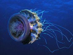Scuba Diver Life - Jelly Fish