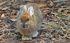 The Snowshoe Hare (Lepus americanus) with its large paws (for running over the snow) and white fur (to blend in) is well adapted for life in the snow.