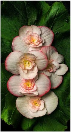 ✯ Rieger Begonia (Be Beautiful gorgeous pretty flowers