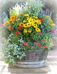 wine barrel garden - tall salvia, yellow rudbeckia & climbing petunias trail out of the barrel