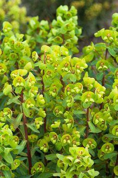 Euphorbia 'Whistleberry Garnet'