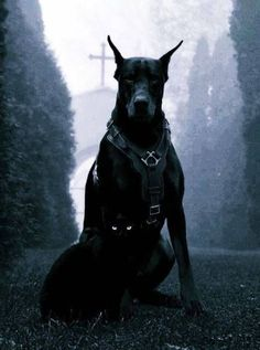 The Doberman Pinscher is among the most popular breed of dogs in the world. Known for its intelligence and loyalty, the Pinscher is both a police- favorite Black Doberman, Doberman Love, Big Dogs, Cute Dogs, Dogs And Puppies, Doggies, Beautiful Dogs, Animals Beautiful, Cute Animals