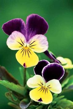 Viola 'Heartsease' - called these JohnnyJump-ups when I was a kid